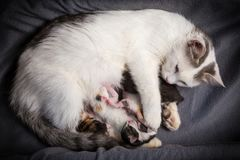 Five newborn kittens suck milk from his mother stock photo