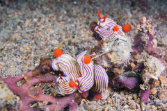 Five nudibranchs. On the coral Royalty Free Stock Photography