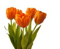 Five orange tulips Stock Images