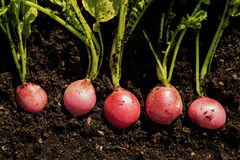 Five organic radishes ready to be harvested Stock Image