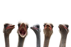 Five ostrich heads Royalty Free Stock Photography
