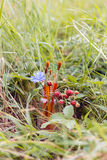 Five paintbrush, flower chicory and strawberries in a jar on the Royalty Free Stock Images