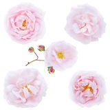 Five pale pink roses isolated on white Stock Images
