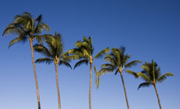 Five Palm Trees. Against a clear, blue morning sky, five palms sway n the ocean breeze Royalty Free Stock Photography