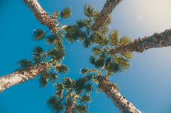Five palm trees against blue sky, view from below Royalty Free Stock Images