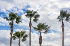 Five Palm Trees Stock Photography
