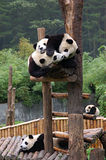 Five pandas Stock Images