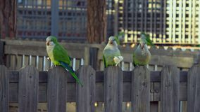 Five parrots Monk Parakeets Myiopsitta monachus eating bread stock video footage