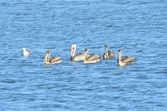 Five Pelicans in the middle of the lake. Five Brown Pelicans, one breeding in the middle of the lake royalty free stock images