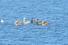 Five Pelicans in the middle of the lake. Five Brown Pelicans, one breeding in the middle of the lake stock photography