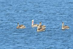 Five Pelicans in the middle of the lake. Five Brown Pelicans, one breeding in the middle of the lake royalty free stock image