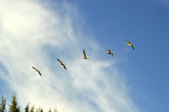 Five pelicans on the sky. Five pelicans flying and gliding on the sky, with wings wide open royalty free stock image