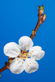 Five-petal blossom of fruit-tree Stock Photography