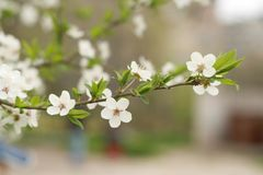 Five-petal cherry flower. Branch of blossoming cherry tree with single five-petal flowers ang green leaves royalty free stock photo