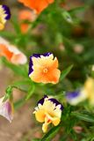 Beautiful blossomed colorful Pansy violet. Five-petal flowers with a diameter of up to 10 cm with an extremely wide range of colors. It is impossible to pass by stock images