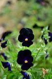 Beautiful blossomed black Pansy violet. Five-petal flowers with a diameter of up to 10 cm with an extremely wide range of colors. It is impossible to pass by royalty free stock photo