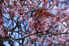 Five-petaled flowers and red leaves of plum. Five petaled flowers and red leaves of plum stock photography