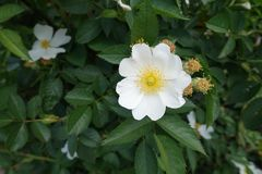 Five petaled white flower of rose Stock Images