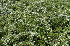 Five-petaled white flowers of Cotoneaster horizontalis Stock Images