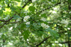 Five-petaled white flowers of hawthorn in may Royalty Free Stock Photo