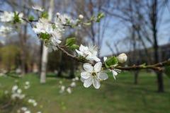 Five-petaled white flowers of Prunus cerasifera in spring. Five petaled white flowers of Prunus cerasifera in spring royalty free stock photography