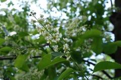 Five-petaled white flowers of Prunus serotina Stock Photo