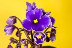 Five petals violet Stock Photography