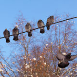 Five pigeons sit on wires. And one is flying on a background of trees stock images