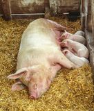 Piglet Feeding Time. Five piglets in a pen feeding off their mother, laying on a bed of hay. The sow has a wonderful look of contentment as the young, baby pigs stock photography