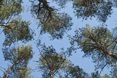 Five pine treetops viewed uo Royalty Free Stock Images