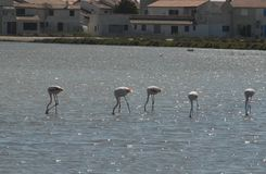 Five pink flamingos in the Camargue region in France Stock Photography