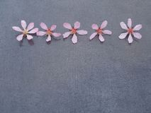 Five pink flowers on a gray background close-up stock image