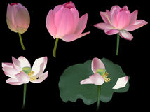 Five pink  lotus flowers  on black Royalty Free Stock Photos