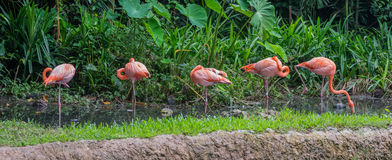 Five pink and orange flamingo standing in shallow water Singapore. Five pink and orange flamingo standing in shallow water near the green forest Singapore Stock Images