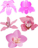 Five pink orchids Royalty Free Stock Photos