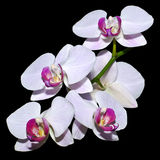 Five pink orchids on a branch Royalty Free Stock Photography