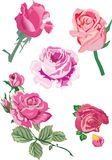 Five pink roses illustration Stock Photos