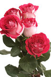 Five pink roses lay on a white background Stock Photo