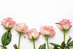 Five pink roses on a white background, beautiful roses royalty free stock photo