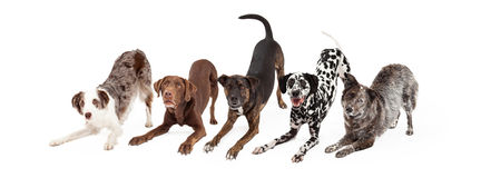 Free Five Playful Dogs Bowing Royalty Free Stock Images - 58727189