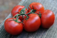 Five plump vine-ripened tomatoes. Juicy, luscious, red, ripe tomatoes, still on the vine, ready to go into your salad or sauce Stock Photos