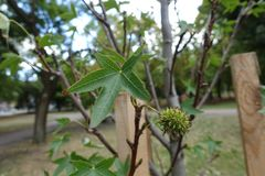 Five-pointed star shaped leaf and hard spiked fruit of American sweetgum. Five-pointed star-shaped leaf and hard spiked fruit of American sweetgum royalty free stock images