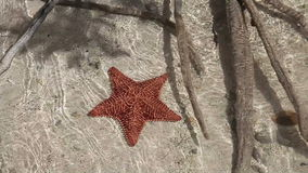 Five-pointed starfish in shallow water. Caribbean stock video footage