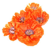 Five poppies Stock Image