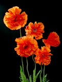 Five poppies. Isolated on black Royalty Free Stock Photo