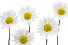 Five pretty daises Royalty Free Stock Image
