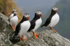 Five puffins Royalty Free Stock Photo