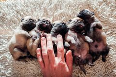 Five pug dog puppies sleeping on carpet at home. Little puppies lying together on their backs. Napping. Man counting pets royalty free stock image