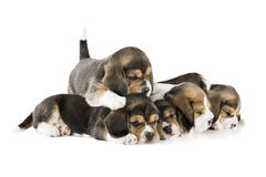 Five puppies beagle Royalty Free Stock Photography