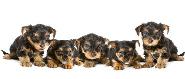 Five puppies breed Yorkshire Terrier Royalty Free Stock Image